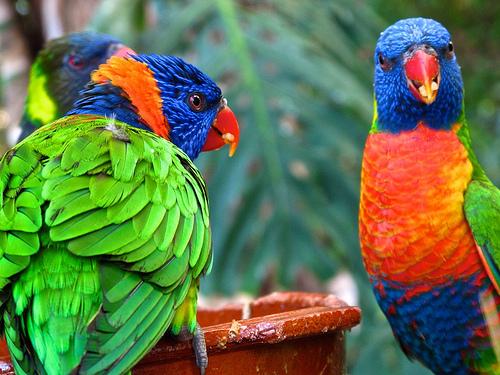 kolorowe papugi, teneryfa, wyspy kanaryjskie