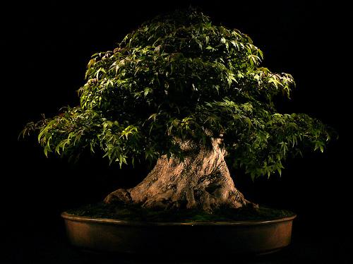 Drzewko bonsai.